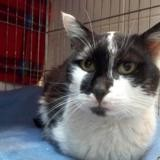 Pipoune, Chat europeen à adopter