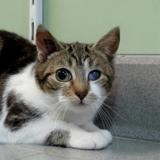 Grima, Chaton europeen à adopter
