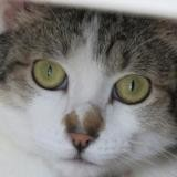 Brice, Chat europeen à adopter