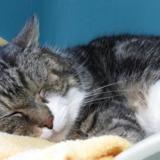 Pacha, Chat europeen à adopter