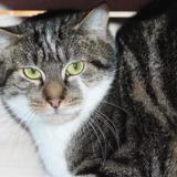Bouzouk pab20385, Chat europeen à adopter