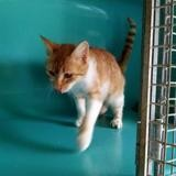 Valou, Chat europeen à adopter
