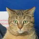 Imani, Chat europeen à adopter
