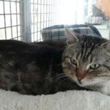 Rossi, Chat europeen à adopter