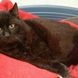 Mazout, Chat europeen à adopter