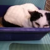 Elio, Chat europeen à adopter