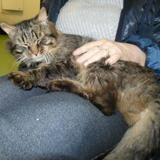 Pistache(en fad), Chat europeen à adopter