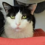 Angela pab21125, Chat europeen à adopter