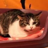 Pumba, Chat europeen à adopter