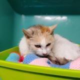 Tina, Chat europeen à adopter