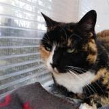 Jolia, Chat europeen à adopter