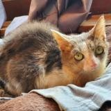 Olympe, Chat europeen à adopter