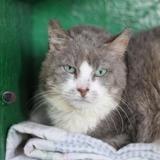 Diouk, Chat europeen à adopter