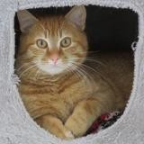 Rolly, Chat europeen à adopter