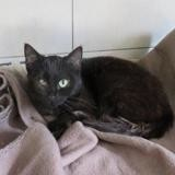 Chocapic , Chat europeen à adopter
