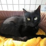 Reglisse, Chat europeen à adopter