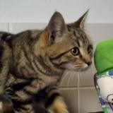 Patator, Chaton europeen à adopter