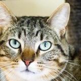 Roddy, Chat europeen à adopter