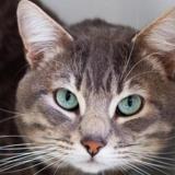 Ralph, Chat europeen à adopter