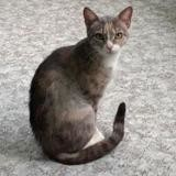 Queeny, Chat europeen à adopter