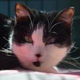 Felixe cha12221, Chat europeen à adopter