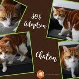 Chaton, Chat europeen à adopter