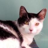 Rocky, Chat europeen à adopter