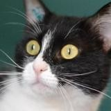 Pimprenelle, Chat europeen à adopter