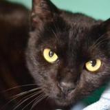 Mowgli, Chat europeen à adopter
