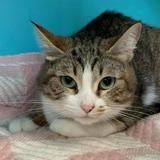 Yumi (réservée), Chat europeen à adopter