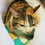 Mimine, Chat europeen à adopter