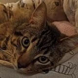 Keops a14554, Chat europeen à adopter