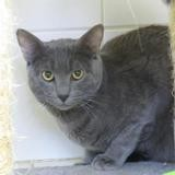 Syd, Chat europeen à adopter
