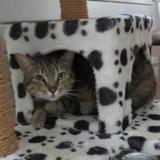 Ocelot, Chat europeen à adopter