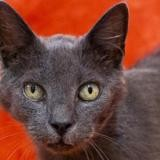 Griffin, Chat europeen à adopter