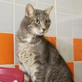 Fripouille pab21241, Chat europeen à adopter