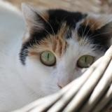Ophelia, Chat europeen à adopter