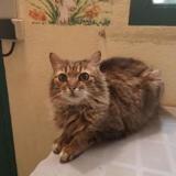 Mandy, Chat europeen à adopter