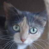 Joline, Chat europeen à adopter