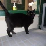 Nina, Chat europeen à adopter