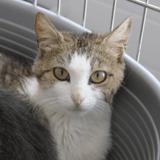 Fera, Chat europeen à adopter