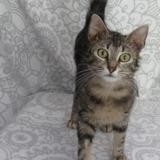 Bianca, Chat europeen à adopter
