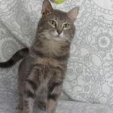 Paco, Chat europeen à adopter