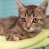 Galy, Chaton europeen à adopter