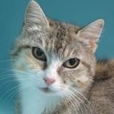 Titie, Chat europeen à adopter