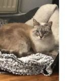 Mystic, Chat europeen à adopter