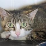 Mistinguette, Chat europeen à adopter