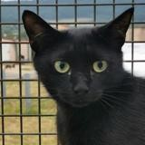 Rony, Chat europeen à adopter