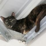 Olive, Chat europeen à adopter