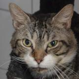 Jolinar cha12346, Chat europeen à adopter